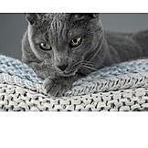 Cat, Russian Blue