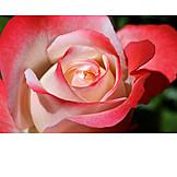 Rose, Rose Leaves, Rose Petals