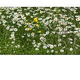 Dandelion, Daisy Flower