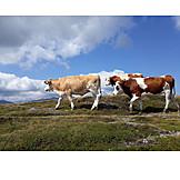 Cows, Alp