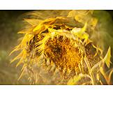 Sunflower, Heat