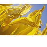 Sunflower, Petal