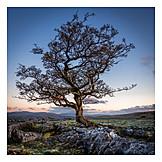 Tree, North Yorkshire, Hawthorn