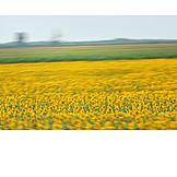 Sunflowers, Sunflower Field, Sunflower Blossom