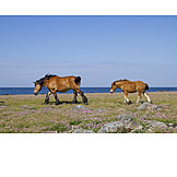 Horse, North Sea, Wind, Foal