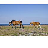 Pferd, Nordsee, Wind, Fohlen