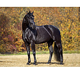Horse, Black Horse