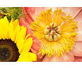Sunflower, Peony
