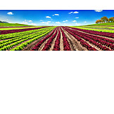 Agriculture, Lettuce, Salad Field