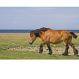 Horse, Draft Horse