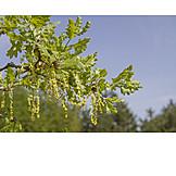 Flowers, Holm Oak