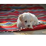 Puppy, Malteser