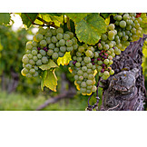 Grapes, Riesling