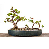 Bonsai tree, Bonsai tree
