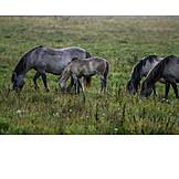 Grazing, Foal, Wild Horses