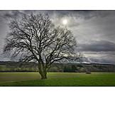 Tree, Oak Tree