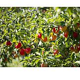 Fruit, Apple Tree