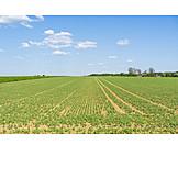 Feld, Landwirtschaft, Jungpflanze