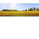Agriculture, Rape Field, Rape