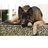 Ausruhen, Schäferhund