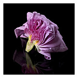 Rose, Cross Section