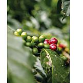 Fruit, Coffee Plant