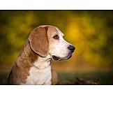 Hund, Beagle