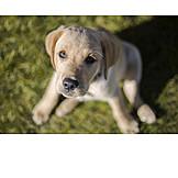Puppy, Golden Retriever