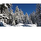 Winter, Fir, Snow