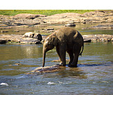 Drinking, Young Animal, Elephant