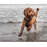 Beach, Running, Dog