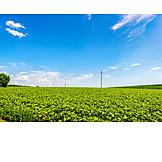 Field, Sunflowers, Crop