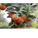 Oranges, Orange Tree