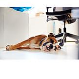 Office, Sleeping, Dog, Office dog