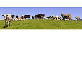 Cow Herd, Cows