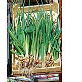 Spring onion, Spring onion, Vegetable box