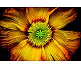 Blume, Mohn, Makro, Klatschmohn