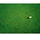 Topview, Cow