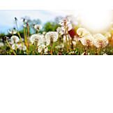 Sunlight, Spring, Dandelion