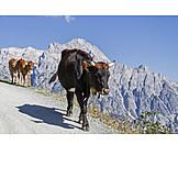 Mountain Range, Cows