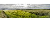 Agriculture, Corn Field, Crop