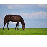 Horse, Grazing