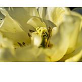 Makro, Blütenstempel, Tulpenblüte
