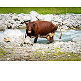 Cow, River, Alp