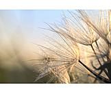 Dandelion, Seed, Fluffy