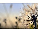Dandelion, Seed, Evening Light