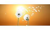 Sunset, Dandelion, Seed
