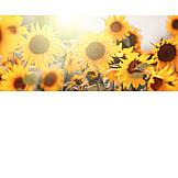 Sunflower, Sunflower Field, Sunflower Blossom