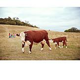 Children Group, Cow, Calf
