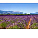 Agriculture, Outbuilding, Lavender